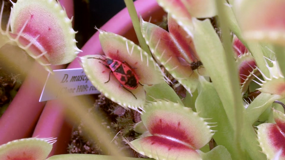 Plantes carnivores 2013
